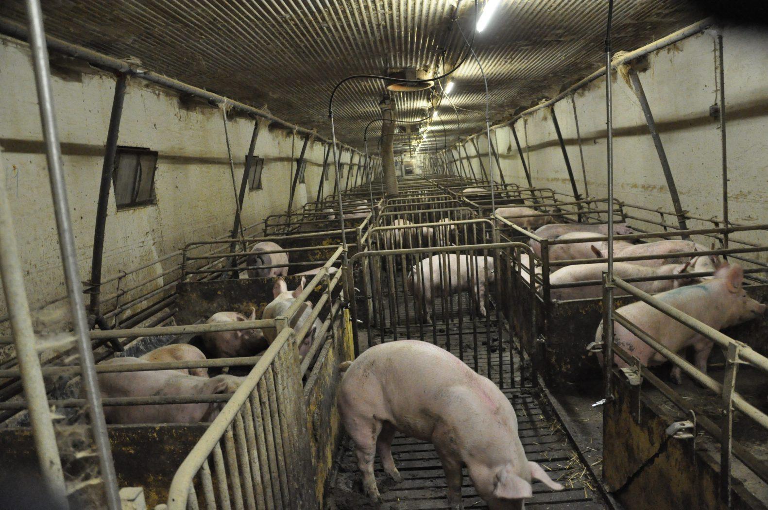 Var kottfrossa gor att grisarna far illa
